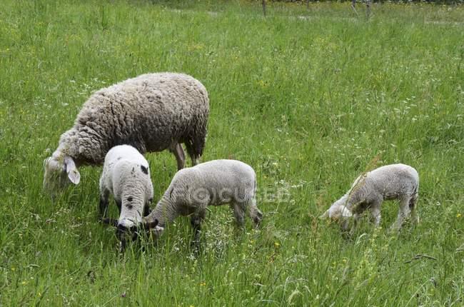 Pecore con tre agnelli — Foto stock