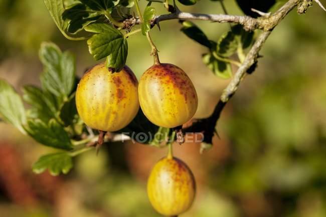 Cassis amarelos crescendo em bush — Fotografia de Stock