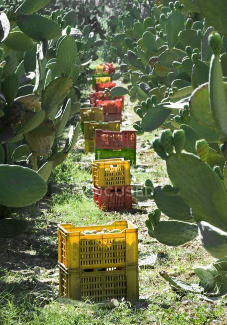 Ripe prickly pears in crates — Stock Photo