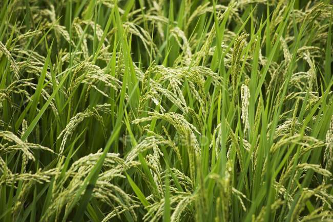 Agricultural field of rice — Stock Photo