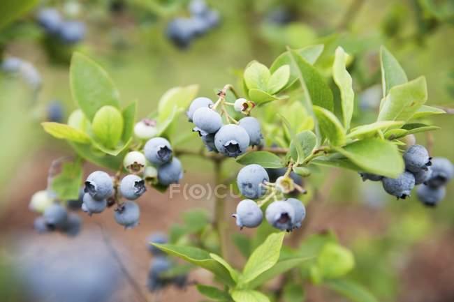 Wild blueberries on the bush — Stock Photo