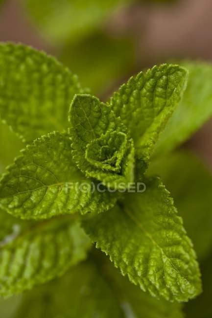 Piantagioni di menta — Foto stock