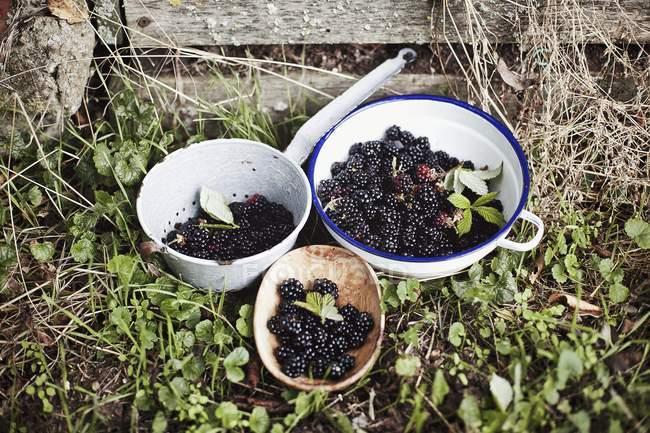 Mûres fraîches dans des bols — Photo de stock