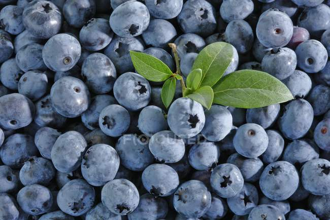 Blueberries with bunch of leaves — Stock Photo