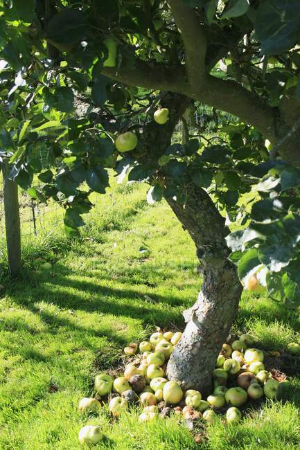 Closeup view of windfalls under an apple tree — Stock Photo