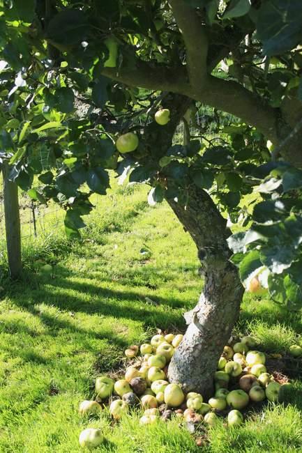 Closeup vista de inesperadas sob uma macieira — Fotografia de Stock