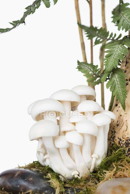 White buna-shimeji mushrooms — Stock Photo
