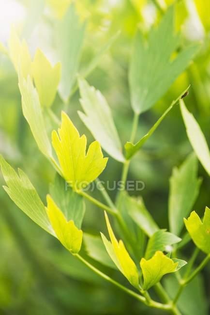Closeup vista de planta verde Lovage — Fotografia de Stock