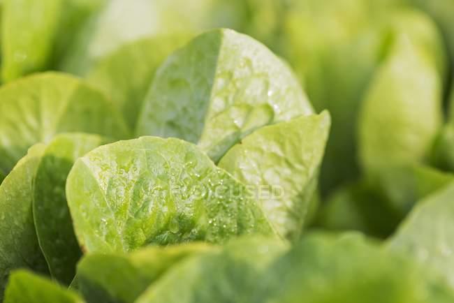 Alface crescendo no jardim — Fotografia de Stock