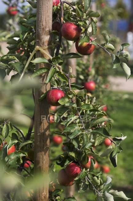 Maçãs que crescem na árvore — Fotografia de Stock