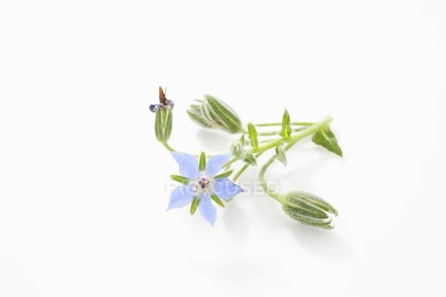 Крупным планом вид свежий цветок бурачника и почки — стоковое фото