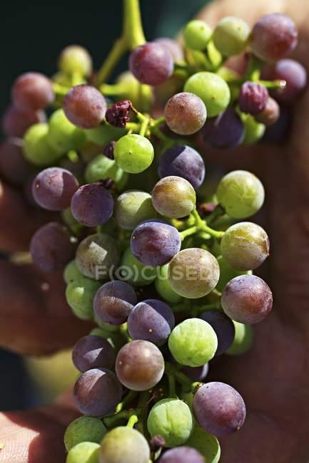 Vendemmia delle uve Zweigelt acerbe — Foto stock