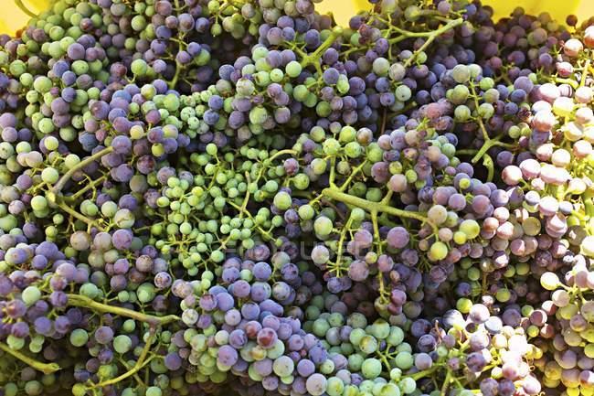 Raccolta dell'uva acerba — Foto stock