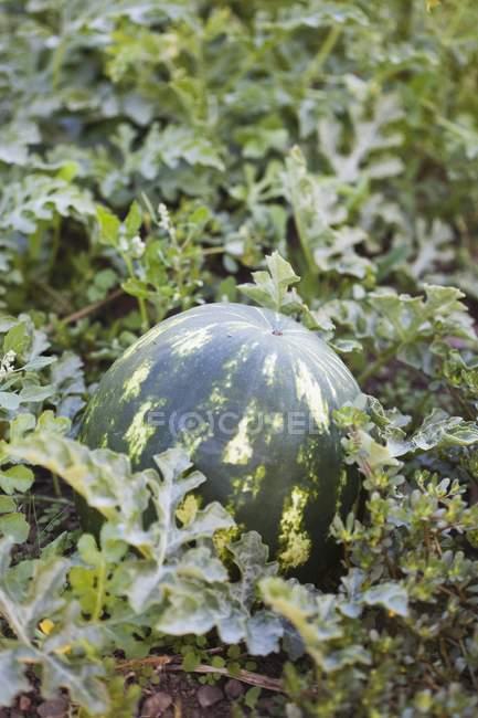 Anguria matura sulla base del giardino — Foto stock