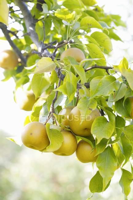 Crescendo na árvore de pêras — Fotografia de Stock