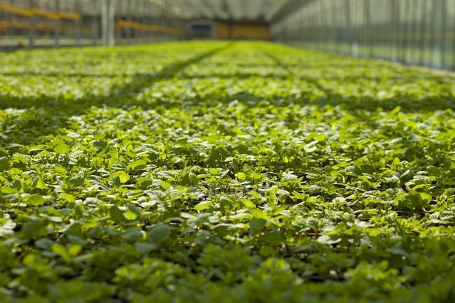 Basil growing in greenhouse — Stock Photo