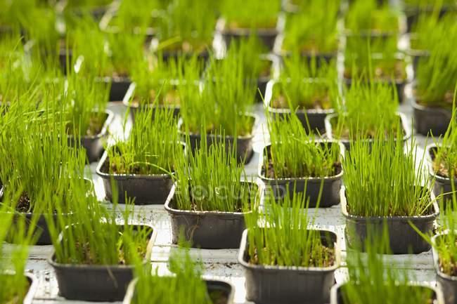 Молодий зелений лук, росте в горщиках — стокове фото