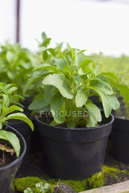 Closeup view of Stevia plants in black plastic pots — Stock Photo