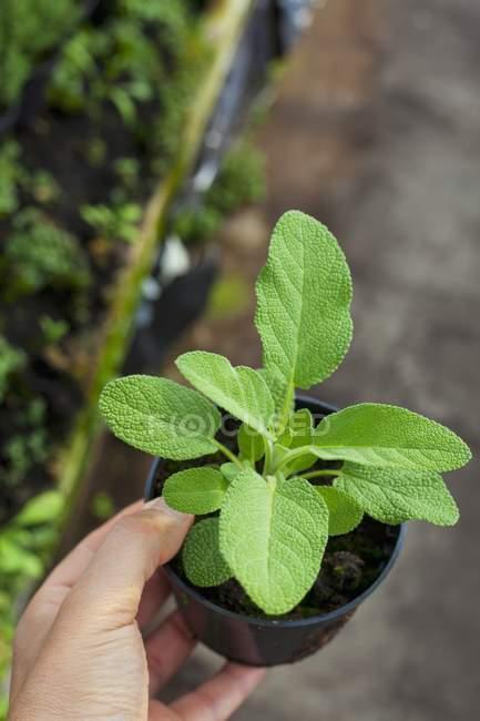 Mano che tiene giovane pianta di salvia — Foto stock