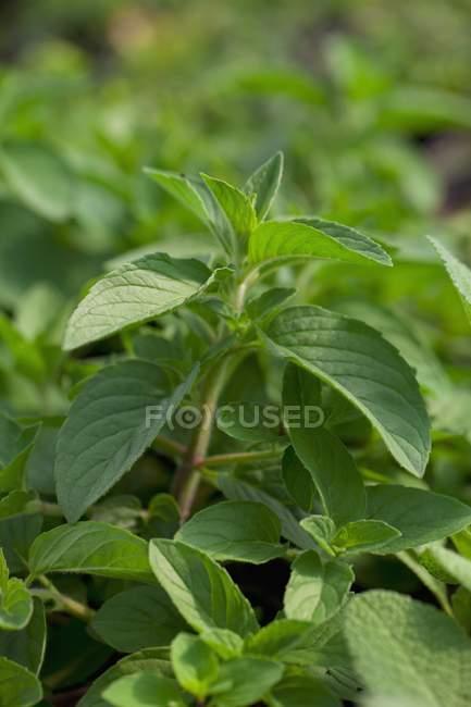 Piante di menta piperita che crescono nel giardino — Foto stock