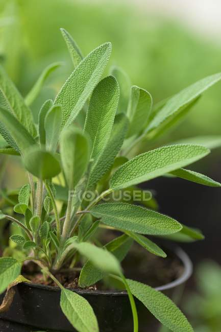 Sage plant in plastic pot — Stock Photo