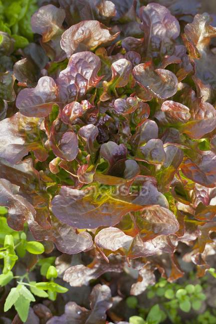 Lattuga Batavia rossa che cresce all'aperto durante il giorno — Foto stock
