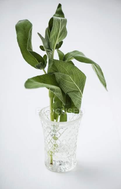 Salvia fresca in bicchiere d'acqua — Foto stock