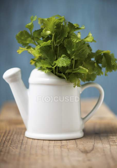 Fresh coriander in watering can — Stock Photo