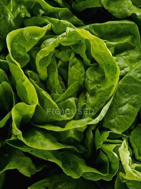 Testa fresca di lattuga — Foto stock