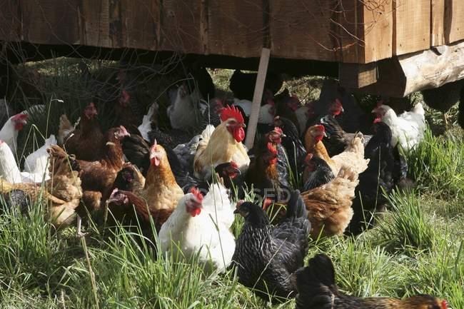 Дневной вид различных кур на открытом воздухе перед стойло курица — стоковое фото