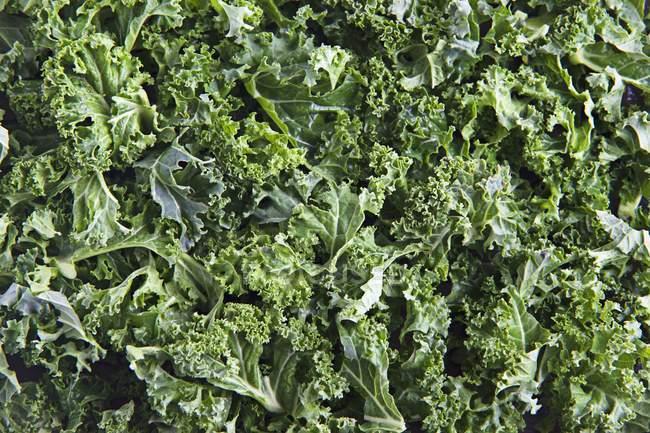 Kale colhido fresco — Fotografia de Stock