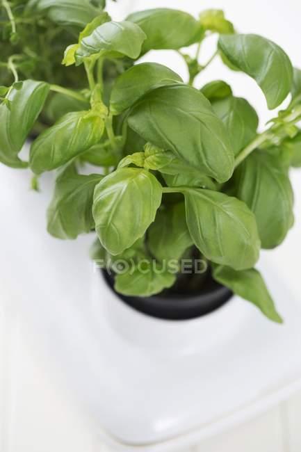 Basilico in vaso da fiori — Foto stock