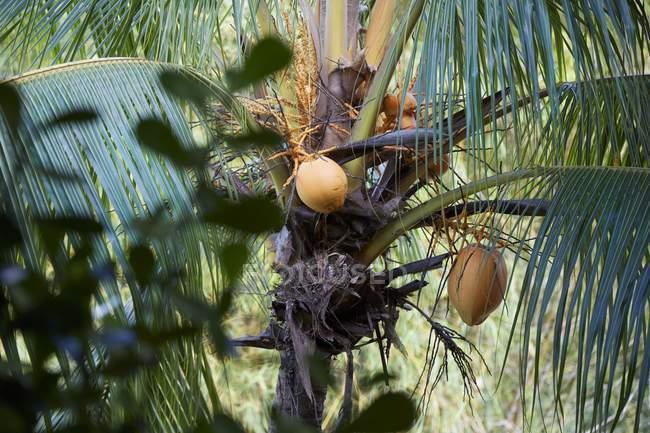 Vista de cerca de los cocos en una palmera - foto de stock
