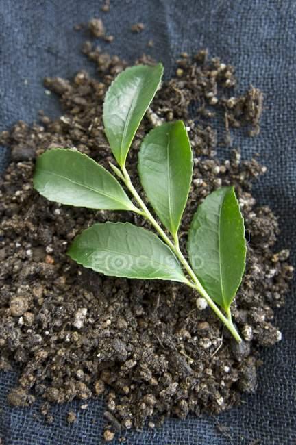 Крупним планом вид чаю листя в грунті на тканині — стокове фото