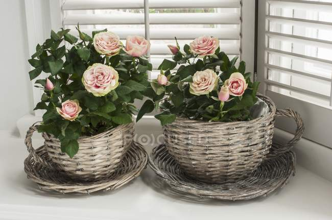 Closeup view of mini rose bushes in wicker cup-shaped planters — Stock Photo