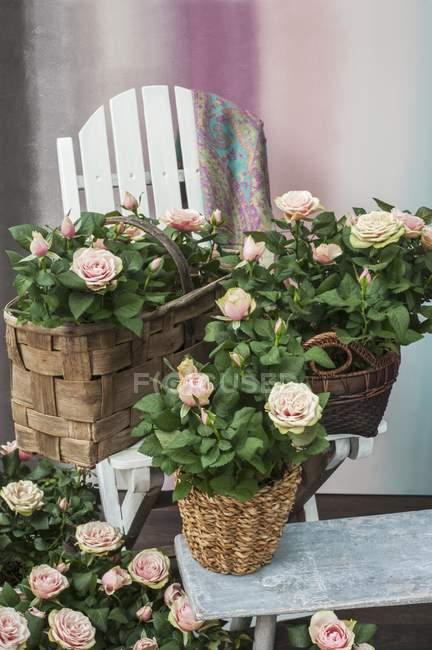 Кімнатні троянди в плетеними Квіткові горщики на табуретку і на лавці — стокове фото
