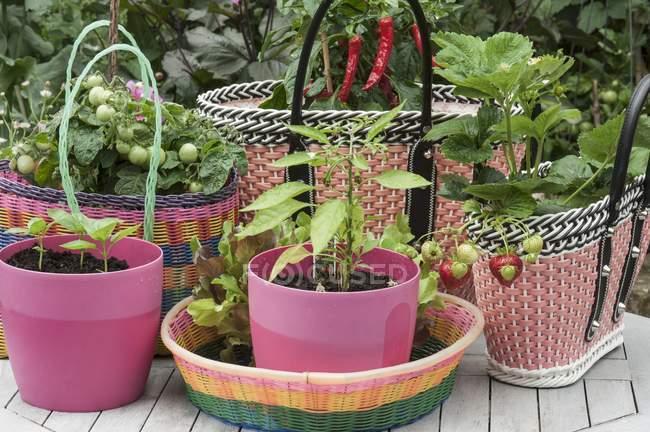 Piantine di basilico in vasi di plastica rosa e piante di pomodoro e fragola in cestini di plastica intrecciata — Foto stock