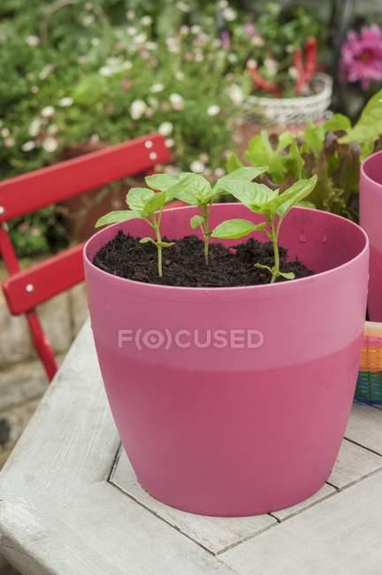 Саженцы базилика в розовом пластиковом горшке на садовом столе — стоковое фото