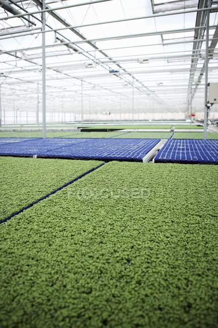 Daytime view of cress growing in a greenhouse — Stock Photo