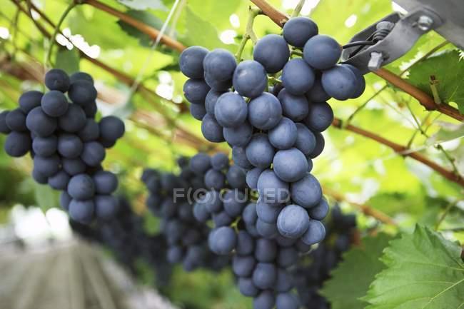 Винограду, що росте на завод — стокове фото