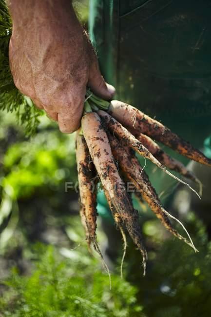 Freshly harvested carrot — Stock Photo