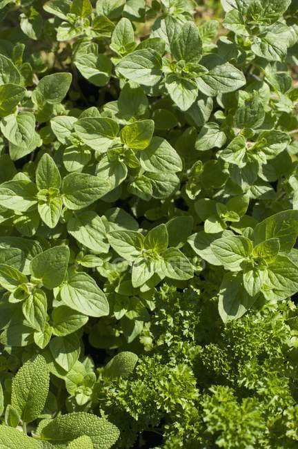 Top view of fresh green herbs in sunshine — Stock Photo