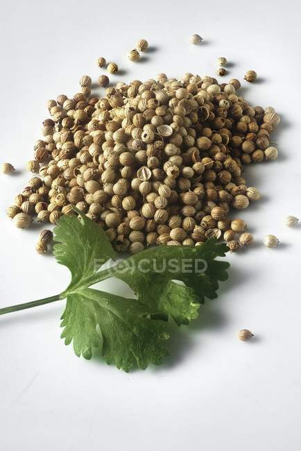 Коріандр насіння з листя — стокове фото