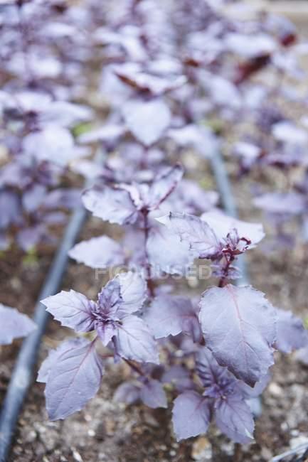 Albahaca de Rubin en jardín - foto de stock