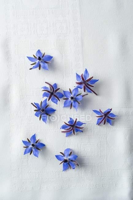 Vue de dessus des fleurs de bourrache sur la surface blanche — Photo de stock