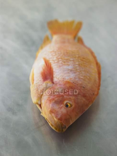 Fresh raw tilapia — Stock Photo