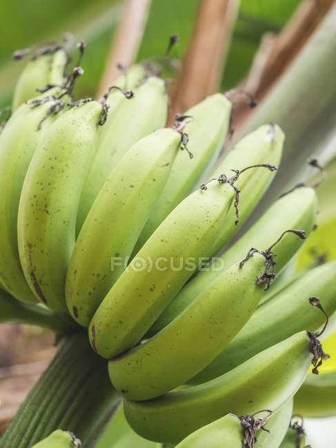 Bananen wachsen auf Anlage — Stockfoto