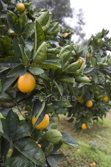 Nahaufnahme von Orangenbäumen im Obstgarten — Stockfoto