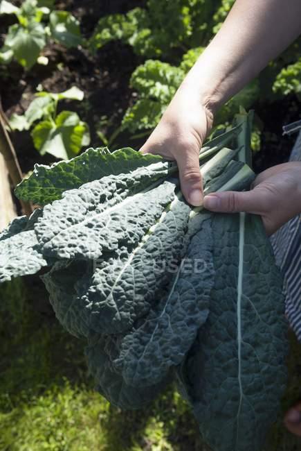 Hands holding freshly harvested kale — Stock Photo