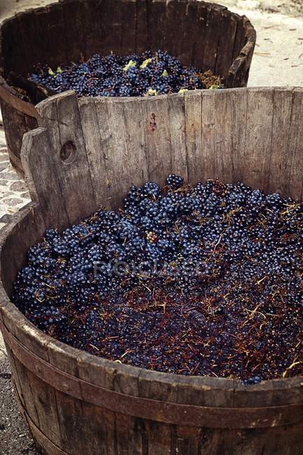 Harvested red wine grapes — Stock Photo